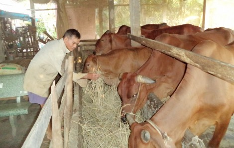 An Hiệp: 80 hộ dân được ký hợp đồng bán phân bò khô