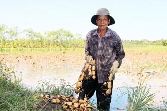 Thạnh Phú: Hộ trồng sen gặp khó vì củ không bán được