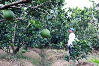Lợi ích từ thiên nhiên: Dừa xiêm và bưởi trong điều trị bệnh