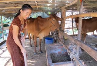 Dinh dưỡng cho đàn bò mùa hạn mặn