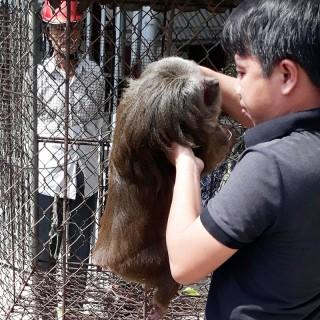 Bàn giao khỉ mặt đỏ quý hiếm để thả về tự nhiên