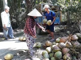 Giồng Trôm hoàn thiện chuỗi giá trị cây dừa
