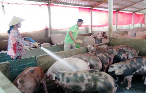 Giồng Trôm: Tăng cường kiểm soát việc tăng đàn heo và quản lý thức ăn chăn nuôi