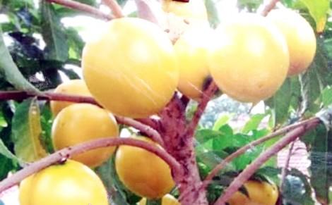 Chợ Lách -  nhiều cây giống mới bán được giá cao