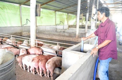 Sớm ký kết hợp đồng tiêu thụ heo thịt