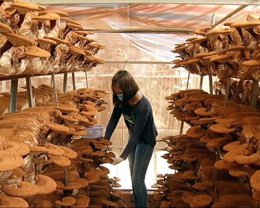 Trồng nấm đạt hiệu quả cao ở Chợ Lách