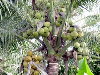 """""""Số hóa"""" các tài liệu viết về cây dừa"""