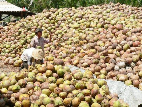 Có chính sách hỗ trợ người trồng dừa