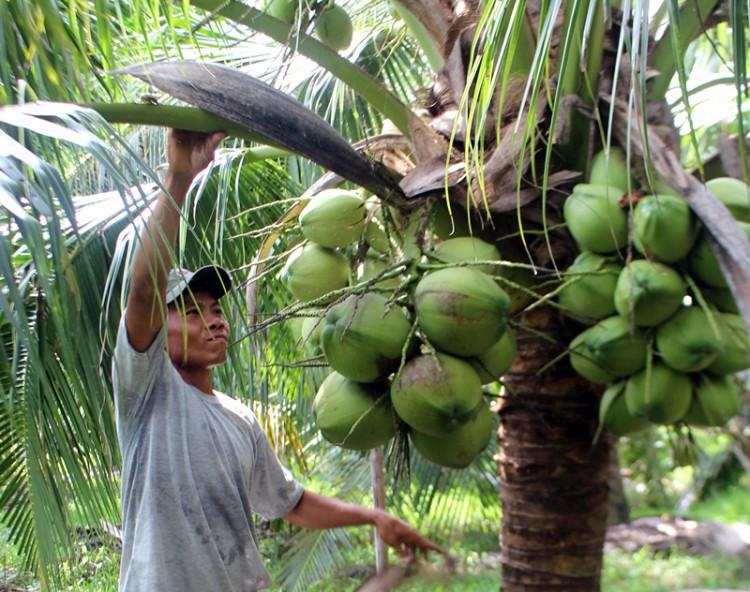 Trồng dừa xiêm xanh thu lợi nhuận cao