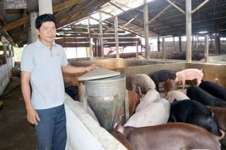 Phát triển chăn nuôi heo theo hướng tập trung
