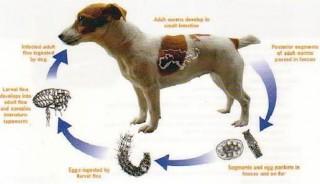 Bệnh sán chó - những biến chứng nguy hiểm