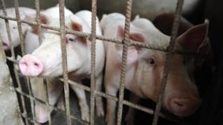 Trung Quốc: dịch cúm lợn châu Phi lan đến Thượng Hải