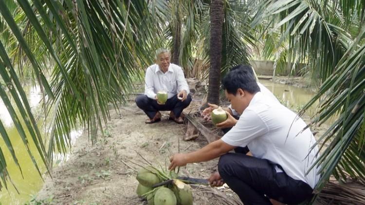 """""""Tỷ phú"""" trồng dừa xiêm xanh ở TP. Bến Tre"""