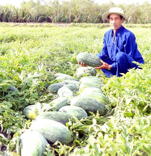 Tổ hợp tác trồng dưa hấu xã An Thủy hoạt động hiệu quả