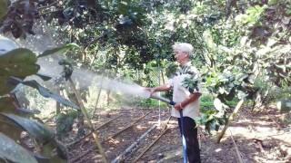 Hiệu quả kinh tế từ cây bưởi da xanh