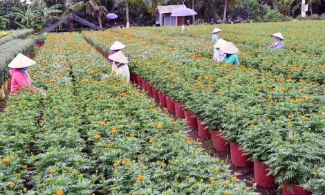 Chợ Lách tất bật hoa kiểng Tết