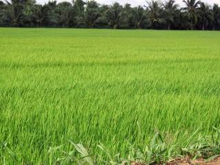 Vụ lúa Đông Xuân đang lo ngại ảnh hưởng bởi mặn