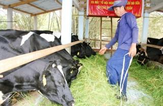 Tập trung phát triển đàn bò sữa