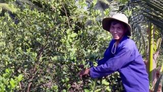 Tân Mỹ trồng chanh xen trong vườn dừa hiệu quả kinh tế cao