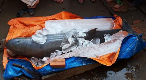 Ngư dân bắt được cá nghi cá heo chuột quý hiếm trên sông Cổ Chiên