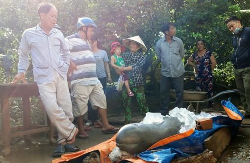 Cá nặng 150kg bắt được trên sông Cổ Chiên là cá nược Minh Hải