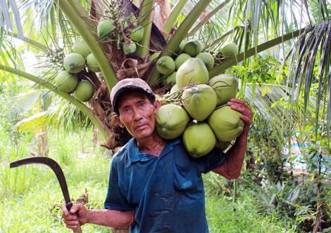 Ăn cơm dưới đất, làm việc trên... ngọn dừa