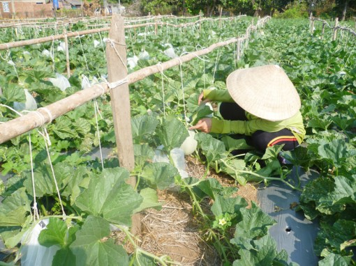 Mô hình trồng dưa lưới xã Thừa Đức đem lại hiệu quả cao