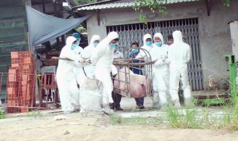 Lương Phú tiêu hủy 207 con heo bệnh dịch tả heo Châu Phi