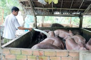 Hộ chăn nuôi heo gặp khó vì giá xuống thấp