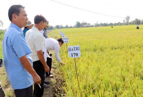 Thử nghiệm sản xuất giống lúa chịu mặn