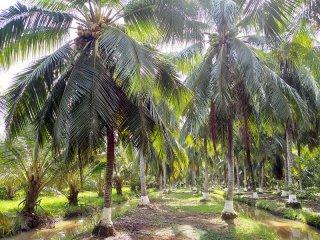Xây dựng và phát triển thương hiệu cho trái dừa Bến Tre