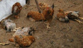 Tiêu hủy đàn gà nhiễm cúm gia cầm H5N6