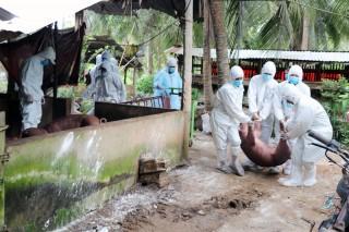 Tiêu hủy gần 26 ngàn con heo do dịch tả heo châu Phi