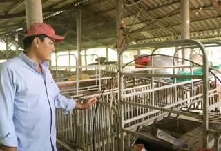 Giá heo hơi tăng cao, người nuôi e ngại tái đàn