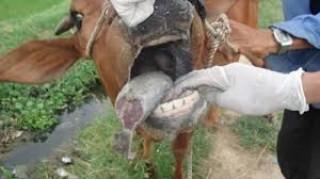 Phát hiện bệnh lở mồm long móng trên đàn bò ở huyện Thạnh Phú và Giồng Trôm