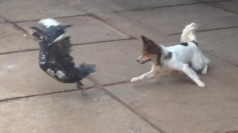 Vụ chó cắn chết vịt ở xã Thuận Điền, chủ chó đã bồi thường