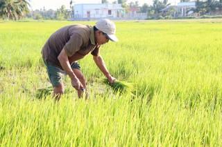 Ba Tri: Lúa thiệt hại do mặn xâm nhập sâu nội đồng