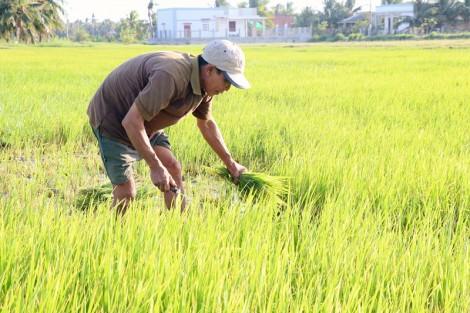 Trên 4,8 ngàn héc-ta lúa Đông Xuân bị ảnh hưởng hạn, mặn
