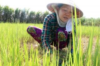 Cắt lúa trên đồng nhiễm mặn