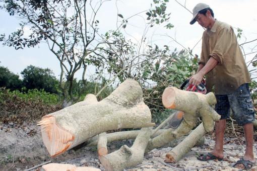 Nông dân đốn bỏ cây ăn trái do nước mặn