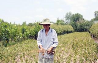 Chợ Lách thiệt hại cây giống, cây ăn trái do hạn mặn