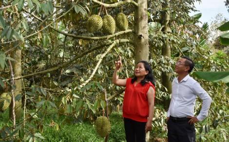 Tổ hợp tác trồng sầu riêng ấp Hàm Luông
