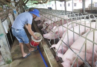Hộ chăn nuôi đang cần nguồn heo con giống