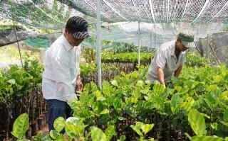 Chợ Lách vào vụ sản xuất cây giống