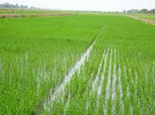 Ba Tri sản xuất trên 11.200ha lúa Hè Thu