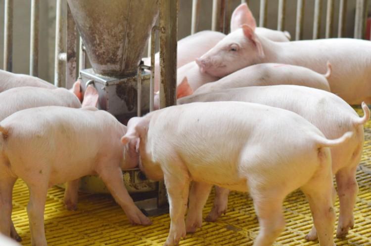Ngành chăn nuôi của tỉnh đang dần phục hồi